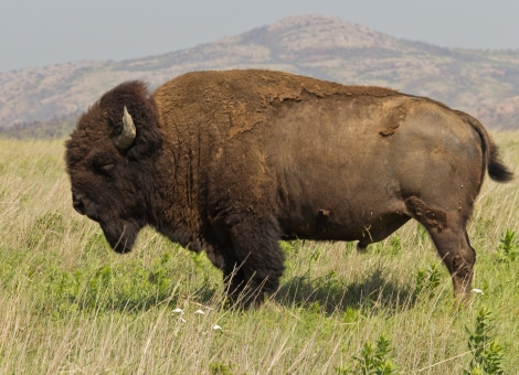 Bison_bison_Wichita_Mountain_Oklahoma